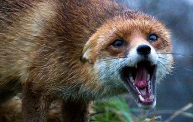 лисиця скажена рівне
